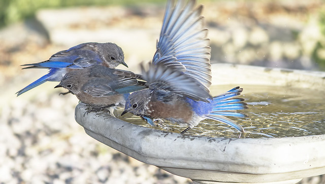 Western Blue Birds 7d1_2408