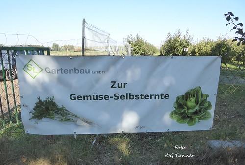 Gemüseernte im Berliner Umland