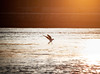 Sunset seagull by romkichc