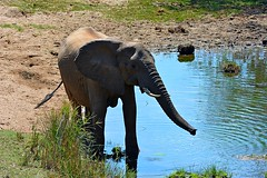 DSC_1868 Elephant 6 Kruger SA
