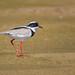 Pied Lapwing - Brazilian Birds - Species # 171 by Bertrando©