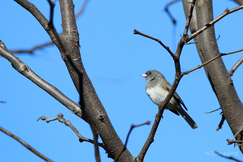 IMG_6155DarkEyedJunco