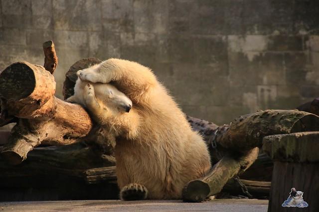 Eisbär Fiete im Zoo Rostock 31.10.2015 Teil 1  0131