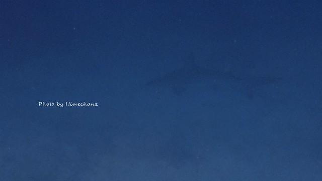 カマストガリザメがふらふら~。もう少し近くで撮りたかったw 筋肉がカッコイイやつでした♪