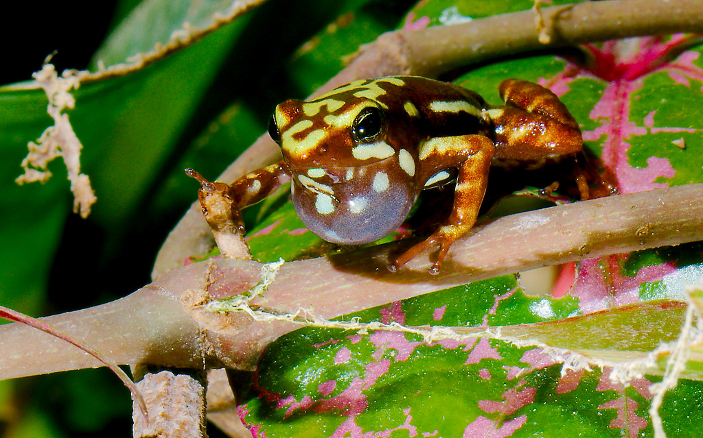 Phantasmal Poison-arrow Frog (Epipedobates tricolor)_10
