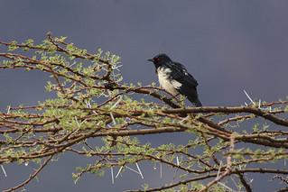 Magpie Starling - Shaba - Kenya_06_7274
