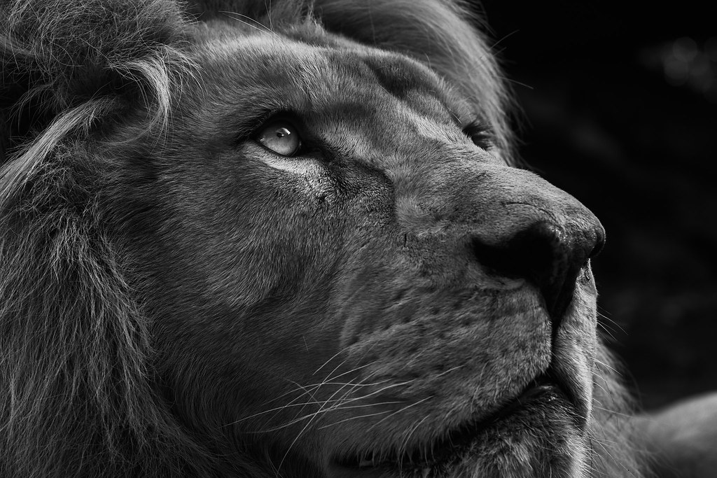 Bouba - Lion blanc