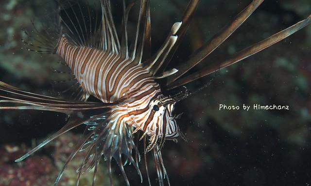 ふわふわ動き回ってました。ハナミノカサゴ若魚