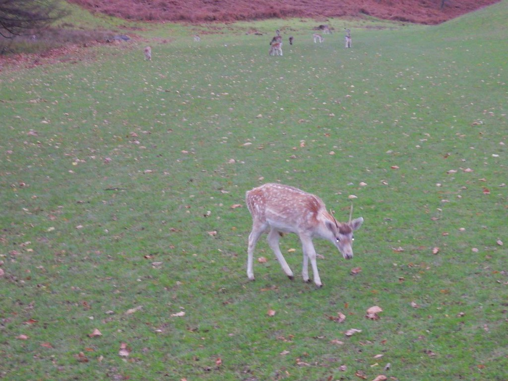 Demonic deer Leigh to Sevenoaks Knole Park