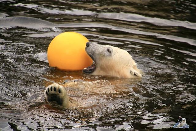 Eisbär Fiete im Zoo Rostock 05.12.2015  20