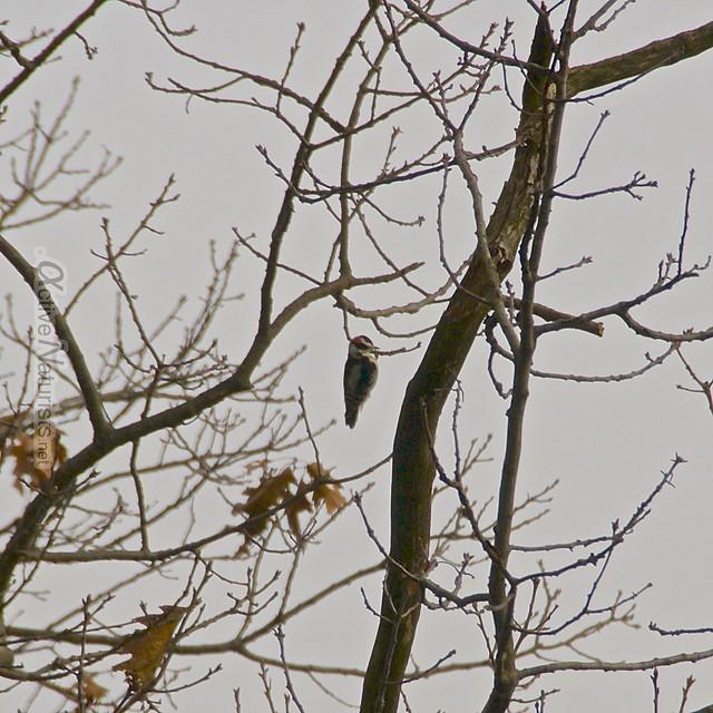 woodpecker 0001 Harriman State Park, NY, USA