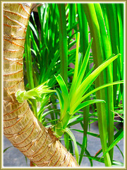 Dracaena marginata (Madagascar Dragon Tree) with plantlets sprouting from its stem, Aug 8 2015