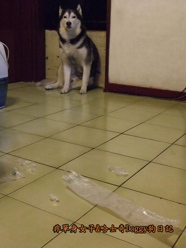 2011哈士奇doggy做壞事05