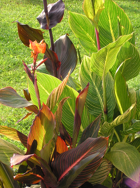 Classic three (Cannas)