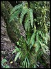 Forest ferns @ Connaught Peak by Indianature16