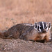 American Badger - Badlands National Park by Hard-Rain