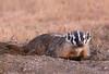 American Badger - Badlands National Park