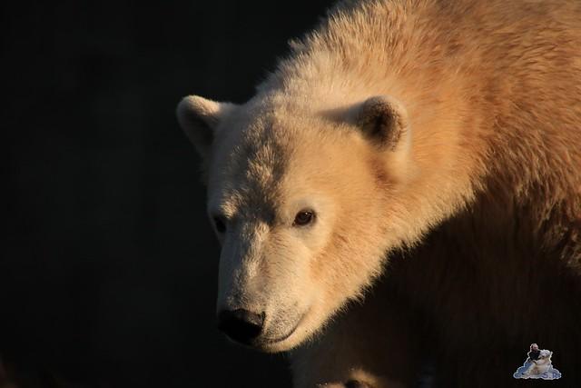 Eisbär Fiete im Zoo Rostock 12.12.2015   32