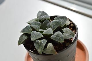 DSC_0536 Haworthia pygmaea f. variegata  ハオルチア ピグマエア