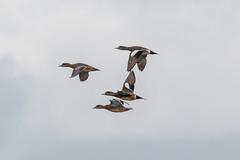 IMG_9845.jpg Green-winged Teal ducks,  Lee Road, Struve Slough