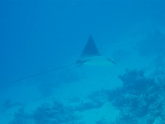 Eagle Ray Image