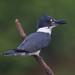 Belted Kingfisher/Ceryle alcyon/Martin Pescador Visitante No-Reproductor/Migrante de Pasada República Dominicana by alropo64