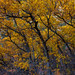 Autumn Gambel Oak by Scott_E_Gibson