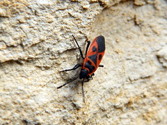 Scantius aegyptius, Fire Bug, Seffud tal-Gamar.