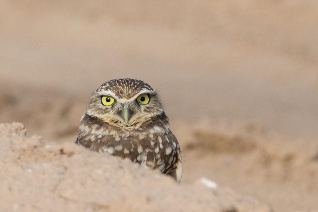 _DSC8157-69 Burrowing Owl