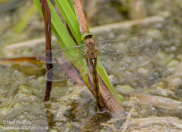 Egg laying norfolk hawker-2