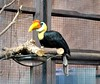 Wrinkled Hornbill by Kay Bea Chisholm