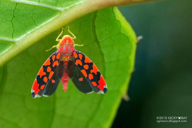 Leafhopper (Ladoffa dependens) - DSC_9334
