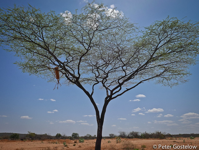 Acacia tree with beehive