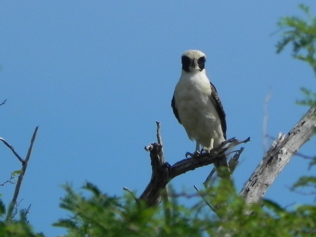 Herpetotheres cachinnas. Halcon Macagua. Laughing Falcon.