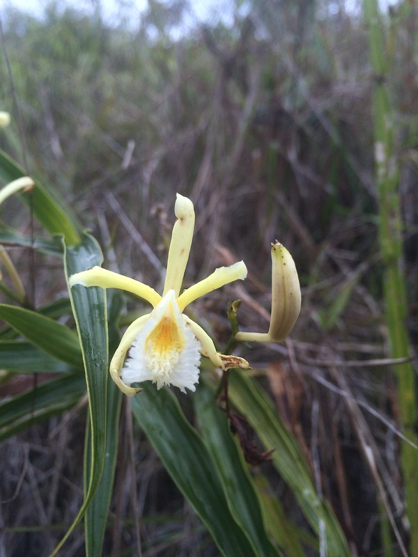 Orchids on Cerro Uchumachi
