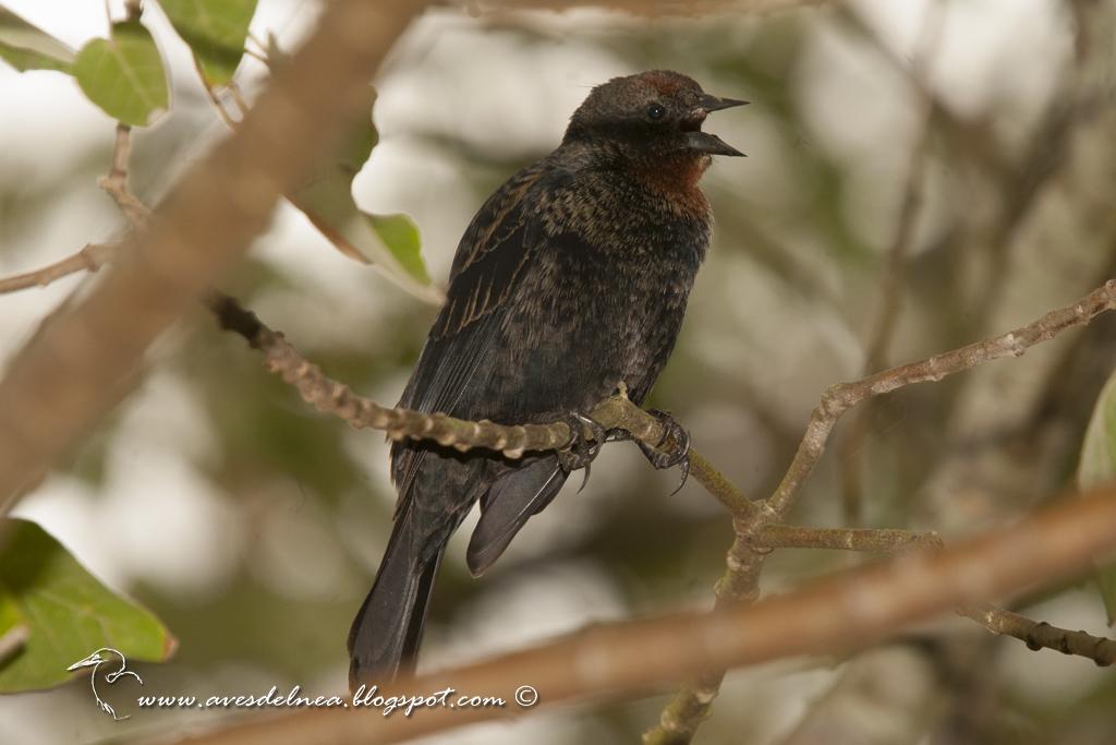 Varillero congo (Chestnut-capped Blackbird) Agelaius ruficapillus