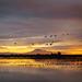 Sandhill Cranes by walking along