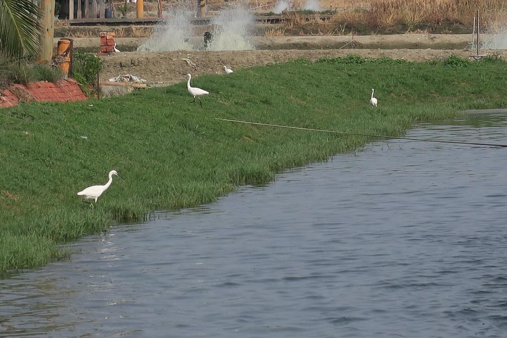 高雄市湖內區綠水塘無毒蝦 (8)