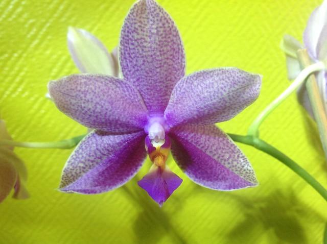 Floraison des orchidées de juin à........... 22551763938_311cbe6a56_z