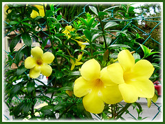 Potted Allamanda cathartica 'Golden Butterfly' against the chain-link fence, Nov 26 2015