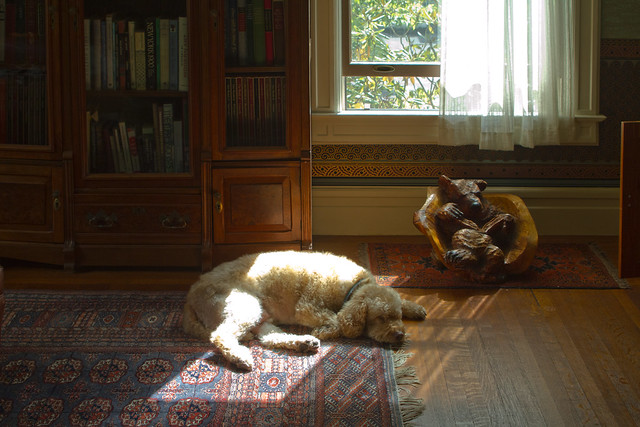 Bucky in sunlight, parlor.  22 parker (2016)