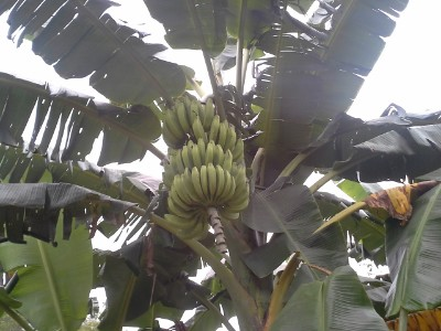 Picture 4 - bananas fruits