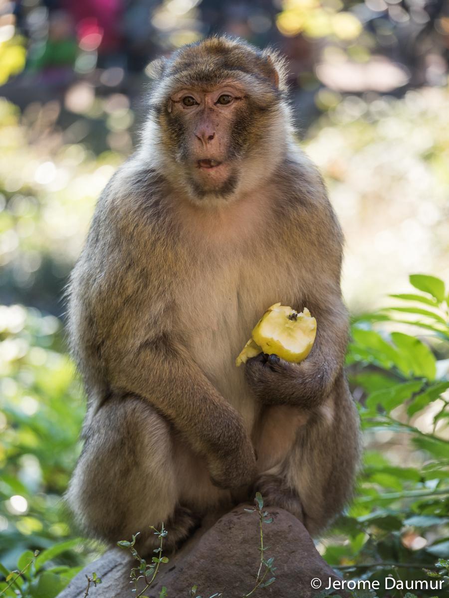 Magot monkey 2