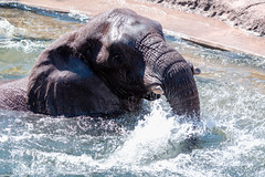 Elephant as Sea Monster