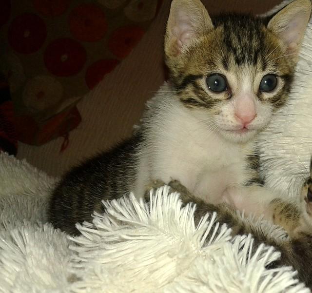 FALLECIDO- Marvel, gatito blanquipardo bebé en Adopción Especial, nacido en Junio´15, en adopción. Valencia. 19899407144_5b2b12693e_z