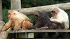 Stump Tailed Macaque at Monkey World. Taken on 21-07-2012 - 13_39_28.jpg by atthezoouk