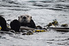 So long and thanks for the fish! Sea otter waves goodbye at the end of the season.