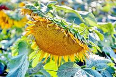 Sunshine Field (SUNFLOWERS) 08
