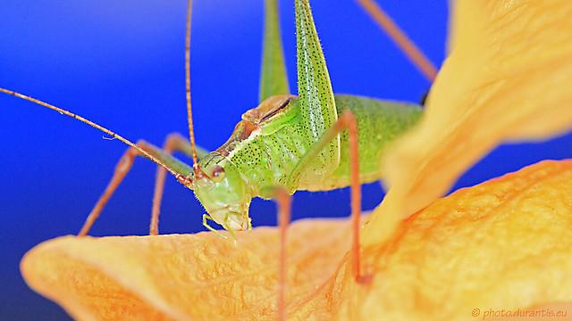 Leptophyes punctatissima · Sauterelle ponctuée· Punktierte Zartschrecke V