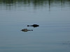 swamp tour alligators passing 2